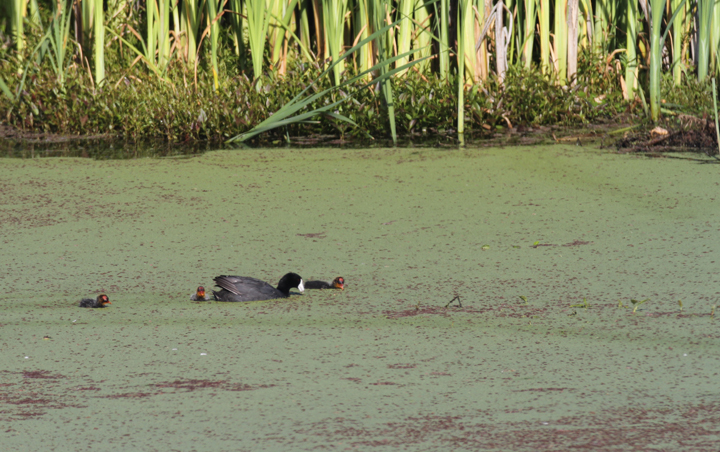 An adult American Coot with tiny young at Watsonville Slough, California (7/2/2011). Photo by Bill Hubick.