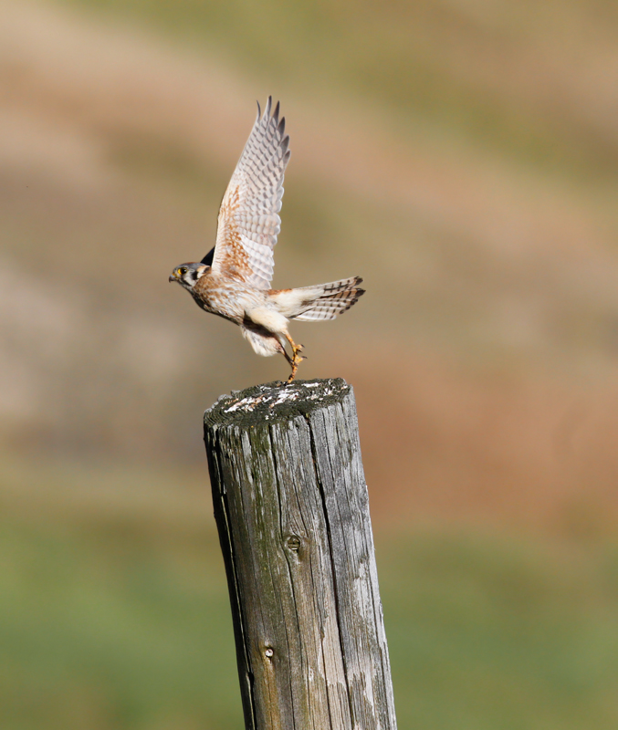 A female American Kestrel in the rolling hills above Garberville, California (7/4/2011). <br /> Nearby I was excited to find my first pair of Purple Martins that were nesting in a natural cavity in a dead snag. Photo by Bill Hubick.