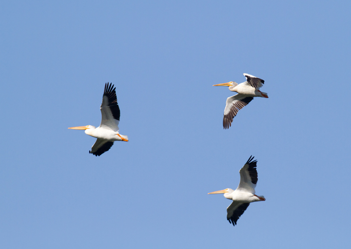 American White Pelicans over Watsonville Slough, California (7/2/2011). We also had brief looks at a continuing, singing male Lawrence's Goldfinch here. Photo by Bill Hubick.