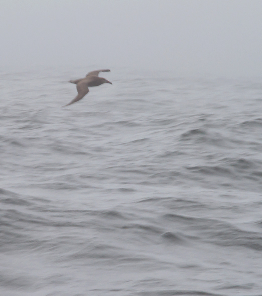 A terribly distant photo of a spectacular bird - my first Black-footed Albatross, soaring through the fog in Monterey Bay, California (7/1/2011). Thankfully the looks were a lot better than this photo suggests! Conditions were pretty challenging for the first half of the trip. Photo by Bill Hubick.