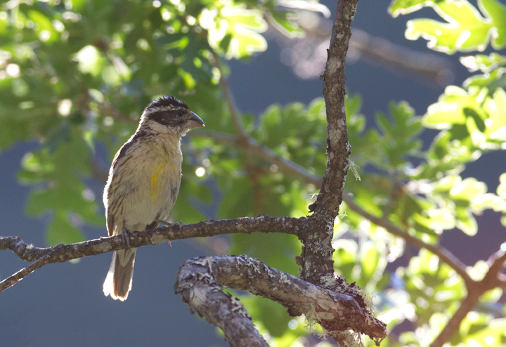 A Black-headed Grosbeak in Klamath NF, California (7/5/2011). Photo by Bill Hubick.
