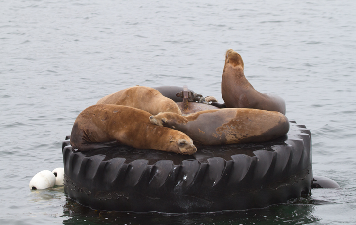 California Sea Lions in Monterey Bay, California (7/1/2011). Photo by Bill Hubick.