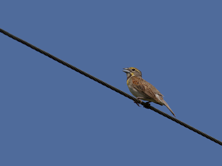 A continuing male Dickcissel in Montgomery Co., Maryland (7/17/2011). Found by Clive Harris. Photo by Bill Hubick.