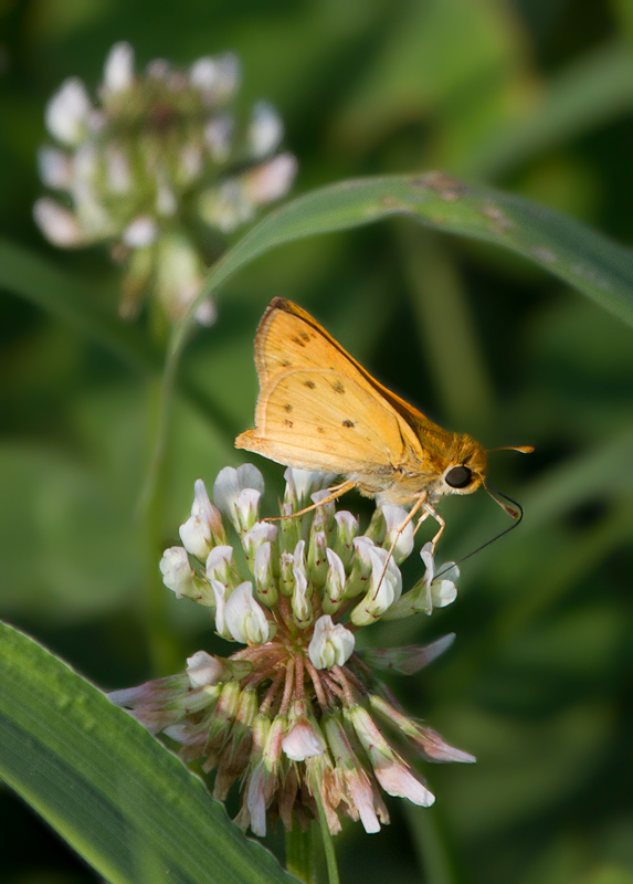A Fiery Skipper in Worcester Co., Maryland (7/23/2011). Photo by Bill Hubick.