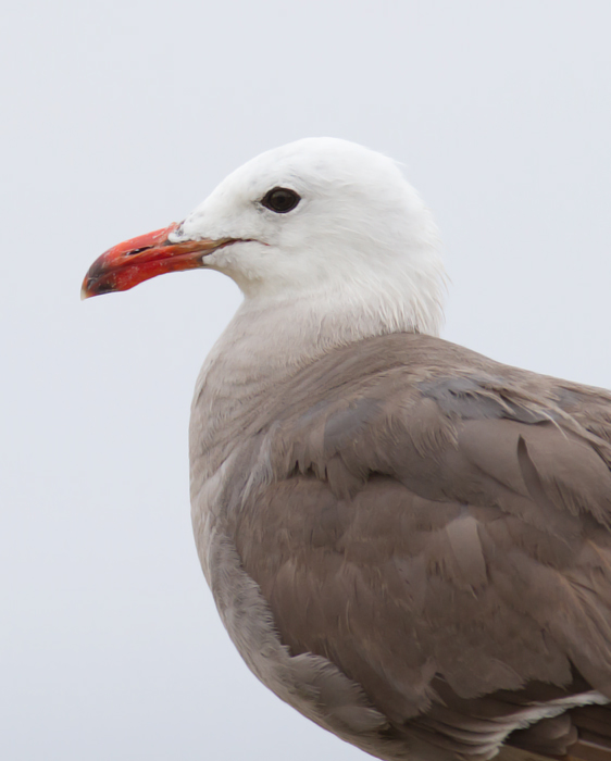 A Heermann's Gull in Pacific Grove, California (7/1/2011). Photo by Bill Hubick.
