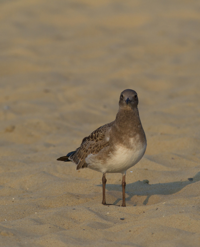 A juvenile Laughing Gull at the Ocean City Inlet, Maryland (7/23/2011). Photo by Bill Hubick.
