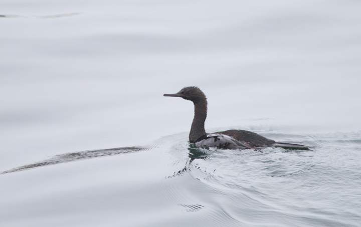 A Pelagic Cormorant in Monterey Bay, California (7/1/2011). Photo by Bill Hubick.