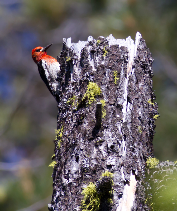 A Red-breasted Sapsucker on Mount Shasta, California (7/6/2011). Photo by Bill Hubick.