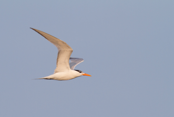 A Royal Tern at the Ocean City Inlet, Maryland (7/23/2011). Photo by Bill Hubick.