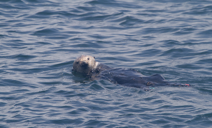 A favorite sight of Monterey Bay, a Sea Otter floating and feasting on fresh seafood (7/1/2011). Photo by Bill Hubick.