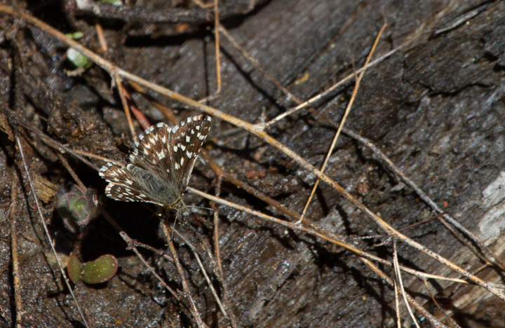 A Two-banded Checkered-Skipper on Mount Shasta, California (7/6/2011). Photo by Bill Hubick.