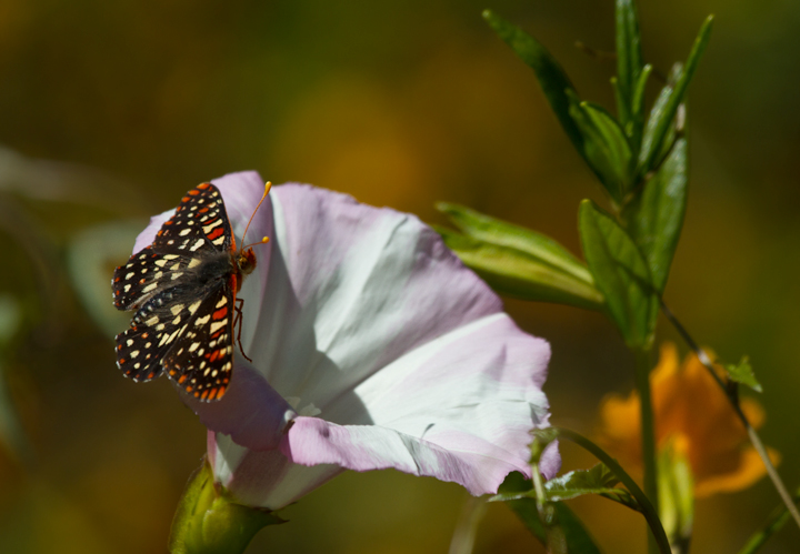 A beautiful Variable Checkerspot at Palo Colorado Canyon, California (7/1/2011). Photo by Bill Hubick.
