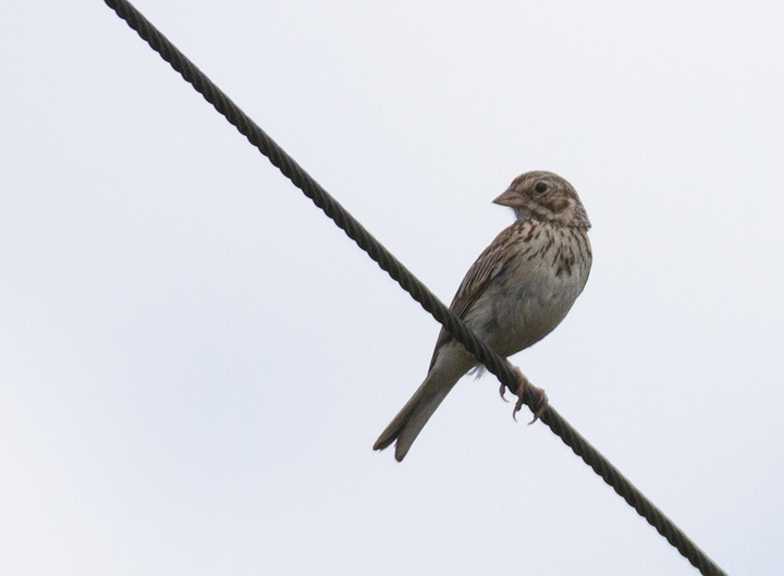 A Vesper Sparrow gets in the way of my photographing a Dickcissel in Montgomery Co., Maryland (7/17/2011). <br />I can live with such distractions. Photo by Bill Hubick.