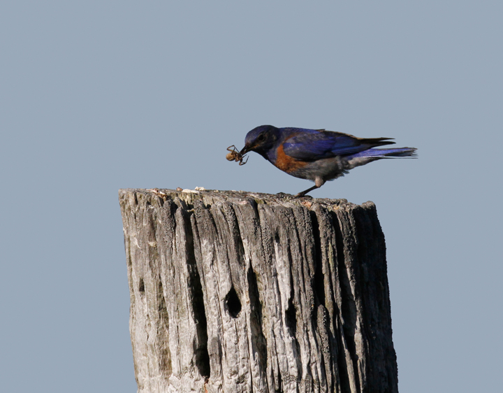 A Western Bluebird demonstrates his place in the food chain in the foothills outside Garberville, California (7/4/2011). Photo by Bill Hubick.