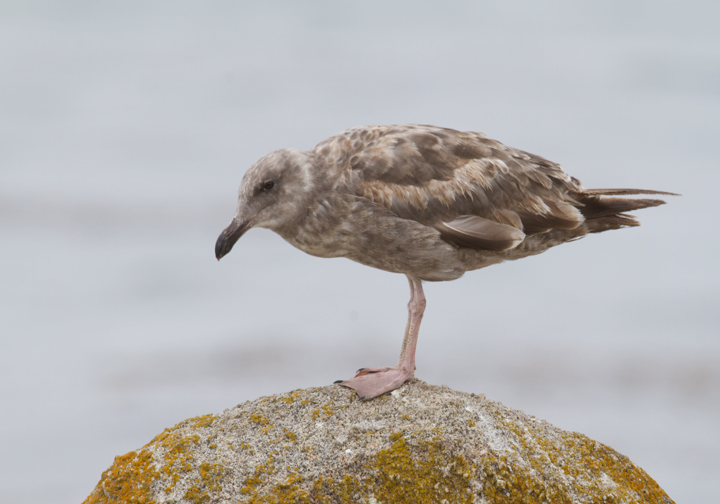 An immature Western Gull in Pacific Grove, California (7/1/2011). Photo by Bill Hubick.