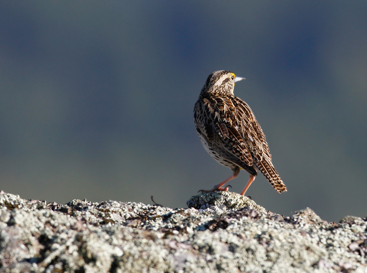 A Western Meadowlark poses dramatically in the hills above Garberville, California (7/4/2011). Photo by Bill Hubick.