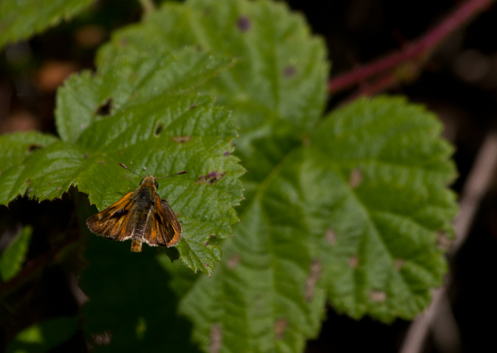 A Woodland Skipper in Palo Colorado Canyon, California (7/1/2011). Photo by Bill Hubick.