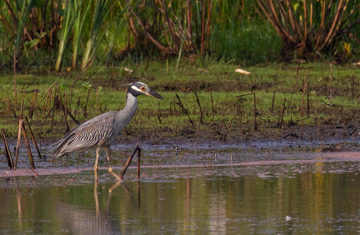 This adult Yellow-crowned Night-Heron was a nice find from a morning of shorebird and wader study between Truitt's and Vaughn North (7/23/2011). This was my first adult Yellow-crowned Night-Heron on the Eastern Shore. Photo by Bill Hubick.