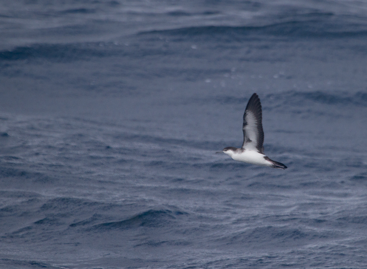 A cooperative Audubon's Shearwater in Maryland waters (8/14/2011). Photo by Bill Hubick.