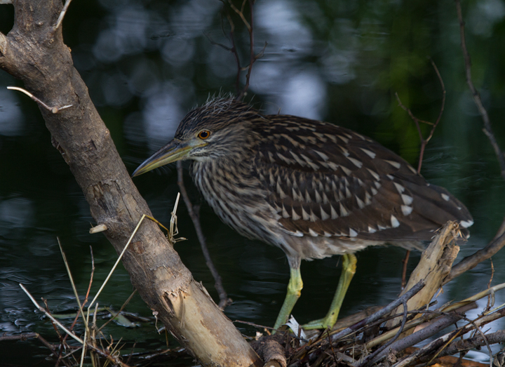 A juvenile Black-crowned Night-Heron in Frederick, Maryland (8/7/2011). Note the downy feathers on its head.  Photo by Bill Hubick.