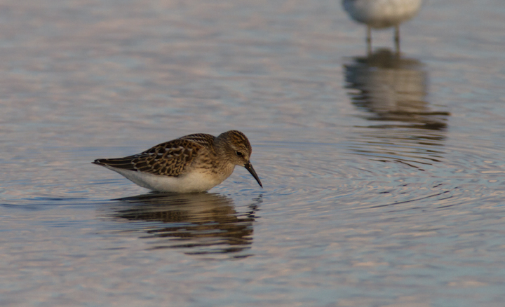 A juvenile Least Sandpiper at Swan Creek, Maryland (8/10/2011). Photo by Bill Hubick.