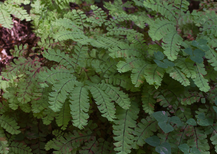 Maidenhair Fern (<em>Adiantum pedatum</em>) near Liberty Reservoir, Baltimore Co., Maryland (8/20/2011). Photo by Bill Hubick.