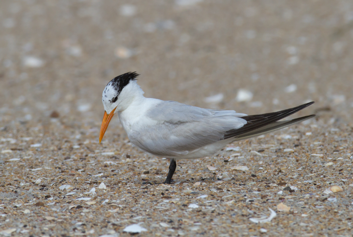 A Royal Tern on Assateague Island, Maryland (8/21/2011). Photo by Bill Hubick.