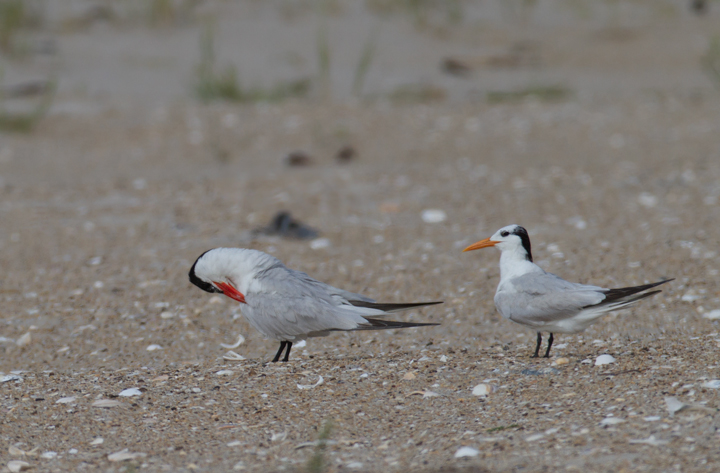 A Caspian Tern (left) and Royal Tern (right) on Assateague Island, Maryland (8/21/2011). Photo by Bill Hubick.