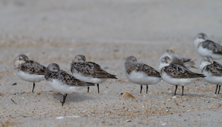 Sanderlings on the ORV zone of Assateague Island, Maryland (8/21/2011). John Hubbell clicked each individual and recorded an impressive 2,625 Sanderlings.. Photo by Bill Hubick.