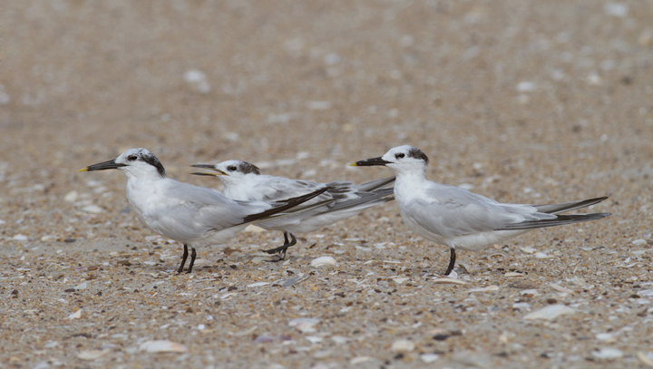 Sandwich Terns on Assateague Island, Maryland (8/21/2011). Juvenile in the middle of the first photo. Photo by Bill Hubick.