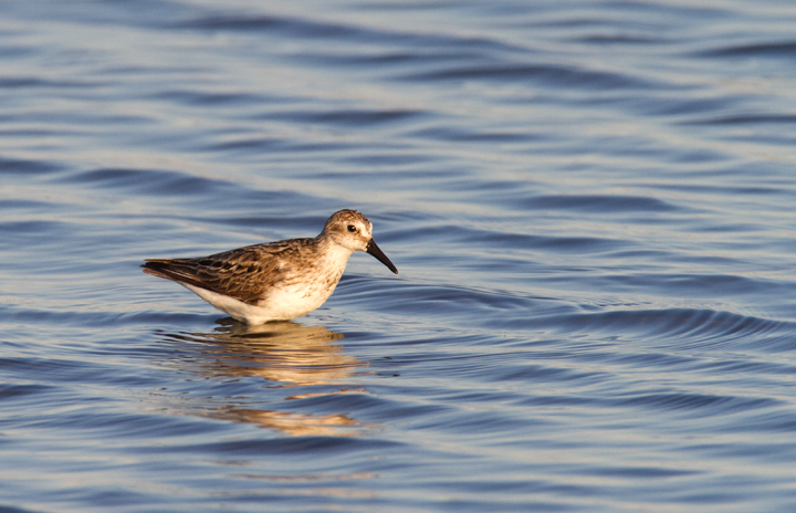 Adult Semipalmated Sandpiper at Swan Creek, Anne Arundel Co., Maryland (8/10/2011). I think the second bird looks long- and stout-billed because it just pulled its head out of the water. Photo by Bill Hubick.
