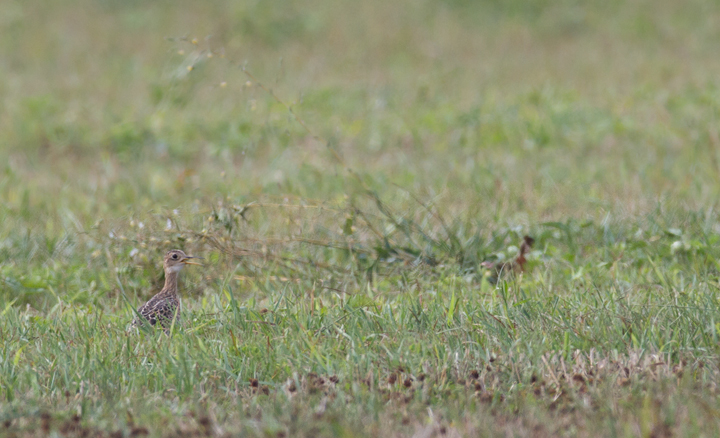 A distant Upland Sandpiper pants in the heat of the afternoon sun - Frederick Co., Maryland (8/7/2011). Photo by Bill Hubick.