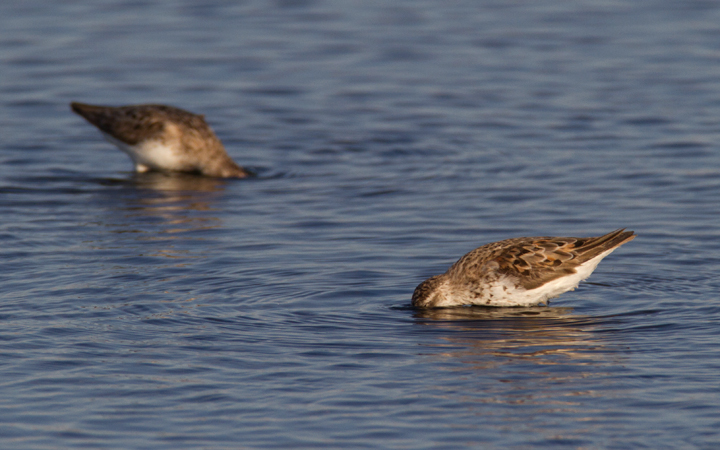 Western Sandpipers at Swan Creek, Anne Arundel Co., Maryland (8/10 and 8/11/2011). Photo by Bill Hubick.
