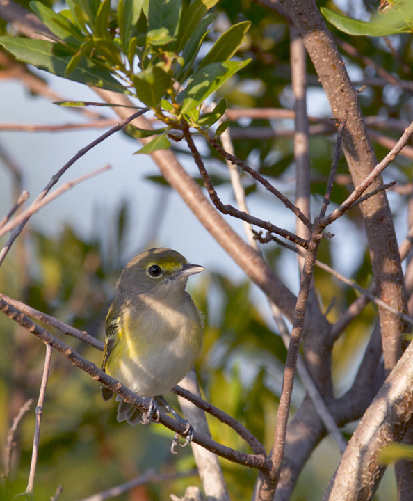 A dark-eyed juvenile White-eyed Vireo on Assateague Island, Maryland (8/21/2011). Photo by Bill Hubick.