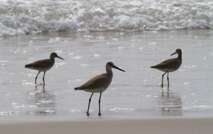 Comparisons of Eastern and Western Willet (sub)species on Assateague Island, Maryland (8/21/2011). Note the obvious difference in shape and overall height! By this date, Western Willet is the far more numerous Willet species in our area. That (sub)species is grayer, larger, and decidedly more godwit-like than Eastern.  Photo by Bill Hubick.