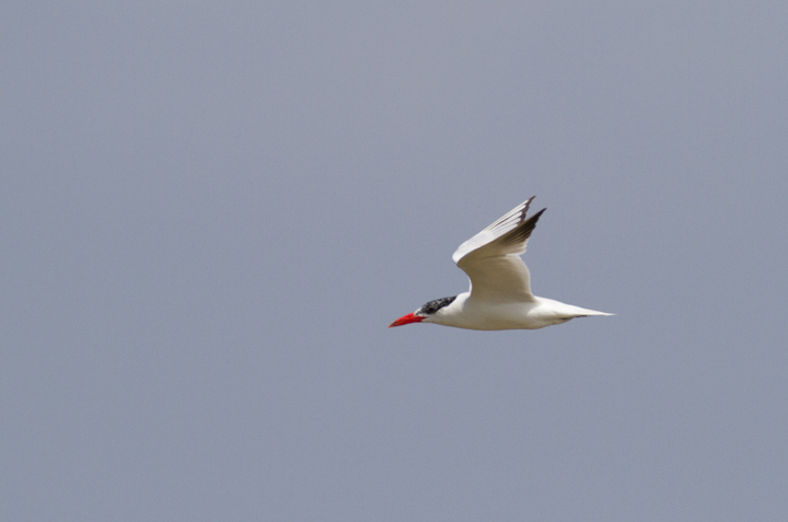 A Caspian Tern in flight at Swan Creek, Maryland (9/11/2011). Photo by Bill Hubick.