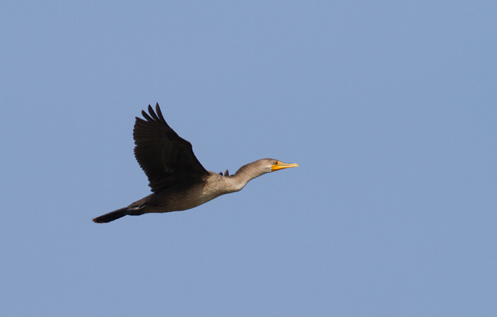An immature Double-crested Cormorant in flight at Point Lookout SP, Maryland (9/3/2011). Photo by Bill Hubick.