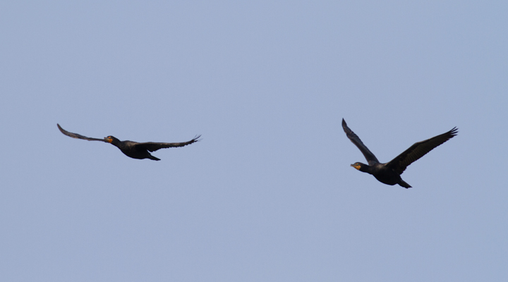 Adult Double-crested Cormorants in flight at Point Lookout SP, Maryland (9/3/2011). Photo by Bill Hubick.