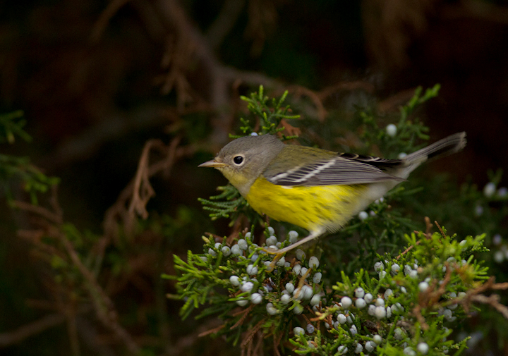 A Magnolia Warbler on Assateague Island, Maryland (9/18/2011). Photo by Bill Hubick.