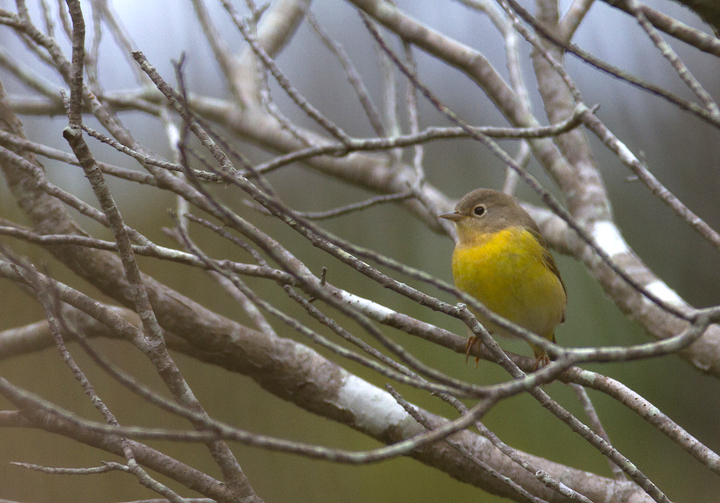 A Nashville Warbler at the Life of the Forest Trail, Assateague Island, Maryland (9/18/2011). Photo by Bill Hubick.