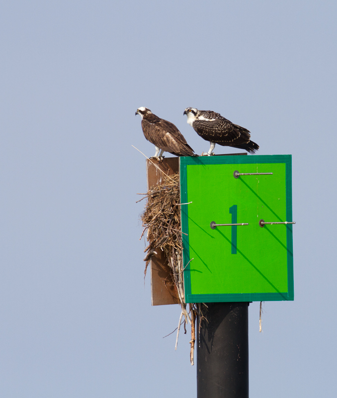 A juvenile Osprey (right) hangs with its parent (left) at Point Lookout SP, Maryland (9/3/2011). Both will soon depart for points south. Osprey migration is already well underway, and numbers will drop off significantly by the end of the month. Photo by Bill Hubick.