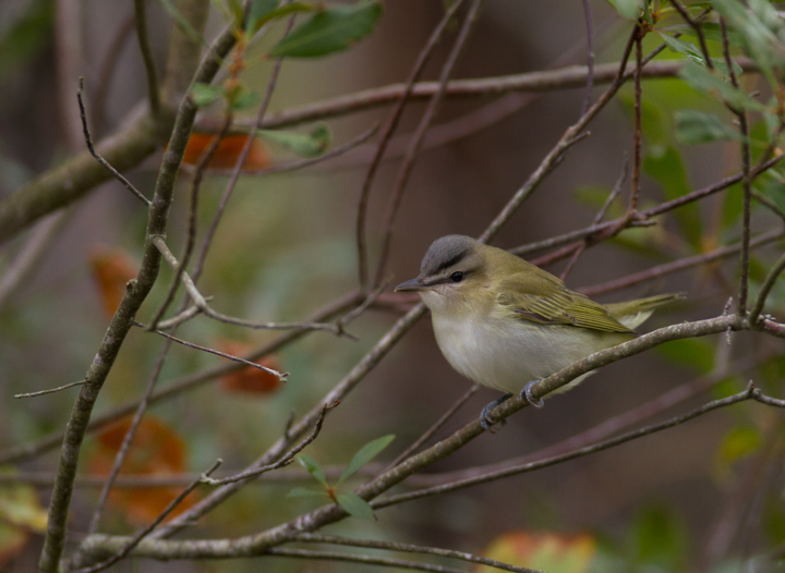 A Red-eyed Vireo on Assateague Island, Maryland (9/18/2011). Photo by Bill Hubick.