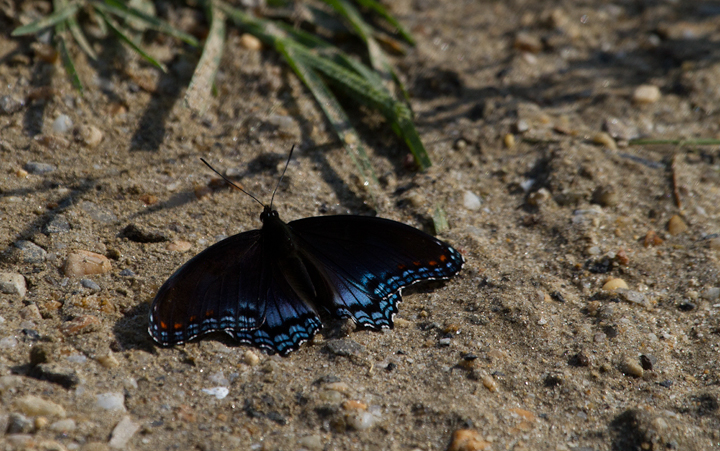 A Red-spotted Admiral in Prince George's Co., Maryland (9/3/2011). Photo by Bill Hubick.