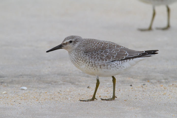 Juvenile Red Knot - Note the neat, crisp patterning in the fresh plumage - Assateague Island, Maryland (9/18/2011). Photo by Bill Hubick.