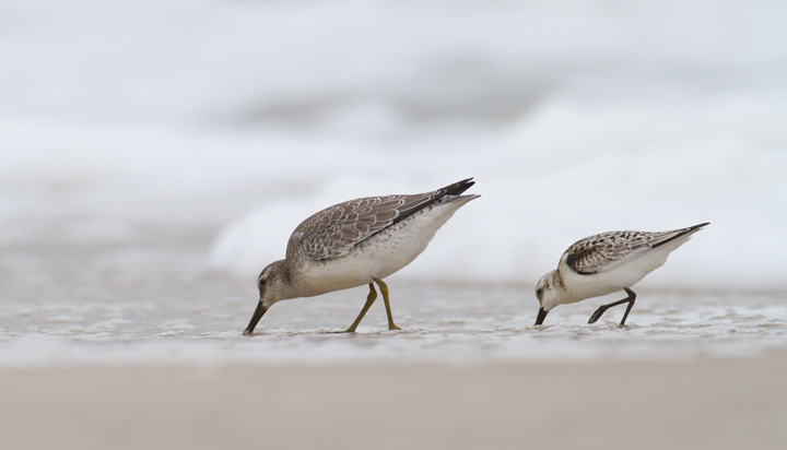 Frode commented on the obvious sexual dimorphism among the knots. I agreed emphatically and showed him this photo.<br />Red Knot with Sanderling - Assateague Island, Maryland (9/18/2011). Photo by Bill Hubick.