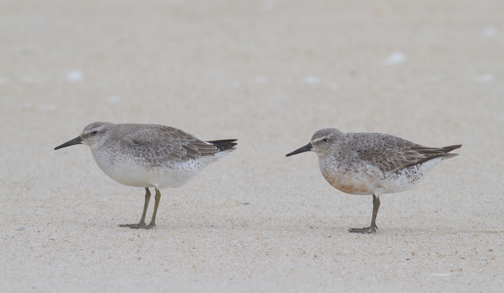 Juvenile (left) and adult (right) Red Knots - Note the adults retained coverts, fresh scapulars, and retained red on the belly - Assateague Island, Maryland (9/18/2011) Photo by Bill Hubick.