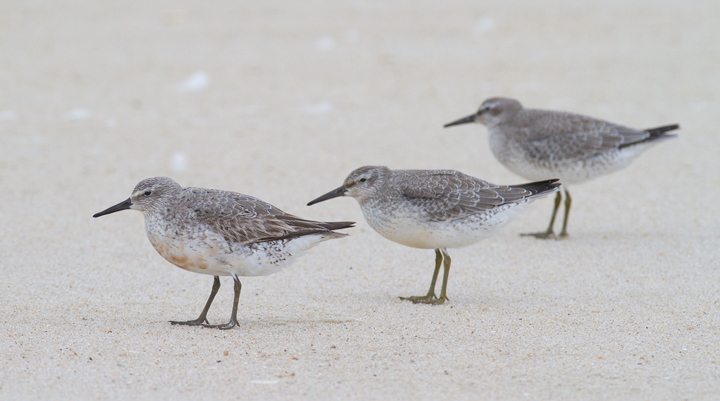 Red Knots on Assateague Island, Maryland (9/18/2011) Photo by Bill Hubick.