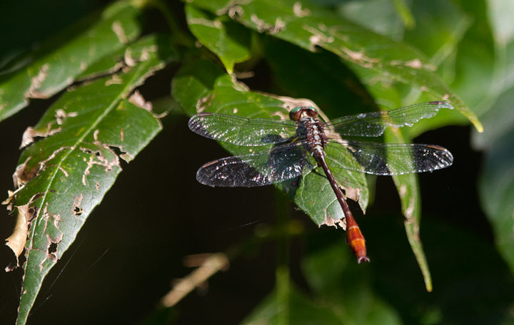 My first photo of Russet-tipped Clubtail - Harford Co., Maryland (8/31/2011). Photo by Bill Hubick.