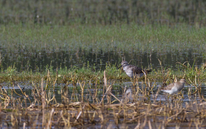 A Stilt Sandpiper in Wicomico Co., Maryland (9/10/2011). Photo by Bill Hubick.