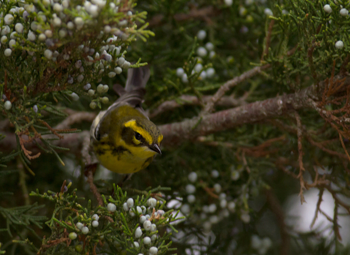 A Townsend's Warbler at Bayside, Assateague Island, Maryland (9/18/2011). Found by Dave Czaplak and Mary Ann Todd on 9/17, this is Maryland's third record, a new species for the Eastern Shore of Maryland, and a first record for Worcester Co. Awesome! Photo by Bill Hubick.